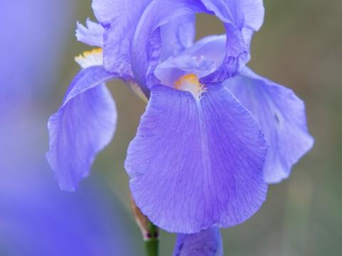 Iris Cengialti Ambrosi subsp. Illyrica - Photo by Roberto Valenti