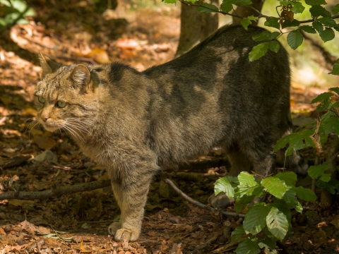 Gatto selvatico (Felis Silvestris Silvestris) - Photo by Roberto Valenti