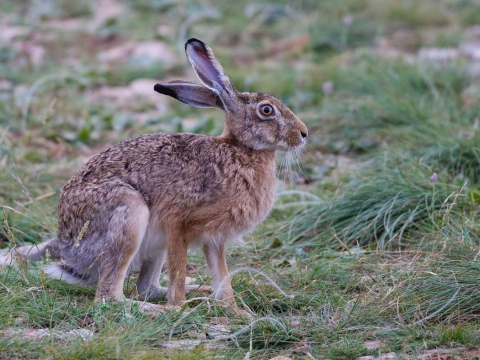 Lepre (Lepus Europaeus) - Photo by Roberto Valenti