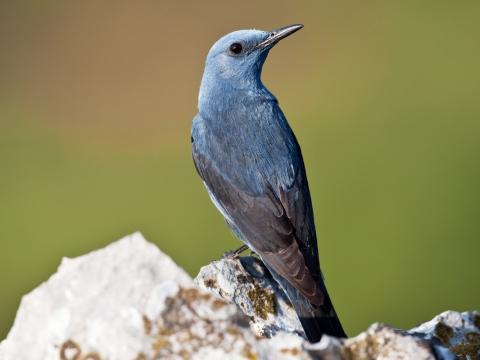 Passero solitario (Monticola Solitarius) - Photo by Roberto Valenti