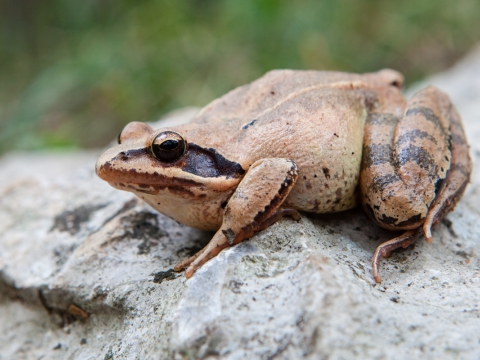 Rana agile (Rana Dalmatina) - Photo by Roberto Valenti
