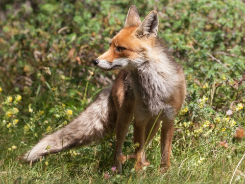 Volpe (Vulpes Vulpes) - Photo by Roberto Valenti