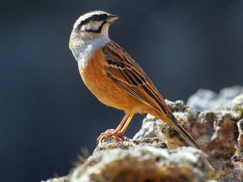 Zigolo muciatto (Emberiza Cia) - Photo by Roberto Valenti